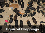 squirrel_droppings