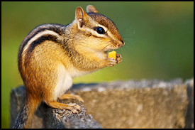 chipmunks_blurb_image