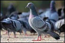 pigeon_blurb