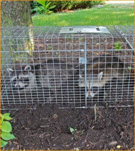 raccoons_trapped_in_cage