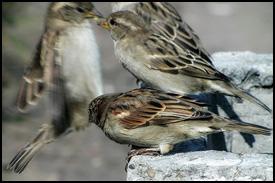 Sparrows Clustering