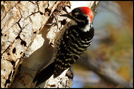 woodpecker_blurb_image