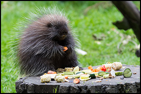 small_blurb_porcupine