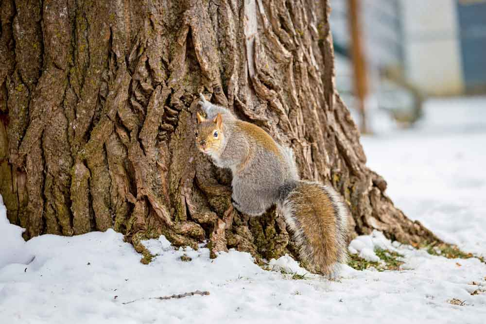 grey_squirrels_blurb_image