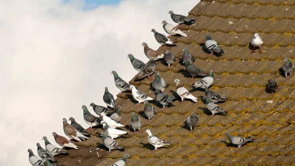 Birds. Pigeons