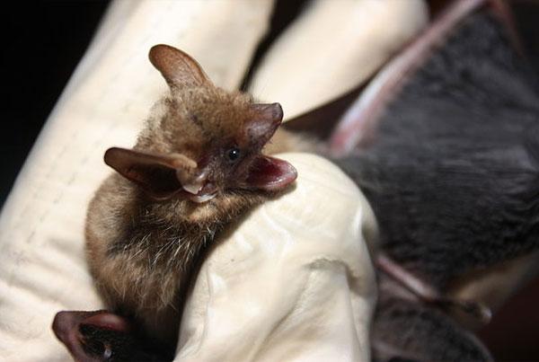 Bats. Thanks to U.S. Fish and Wildlife Service Southeast Region, Public domain, via Wikimedia Commons