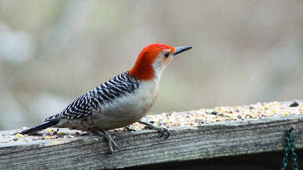 Birds. Woodpeckers